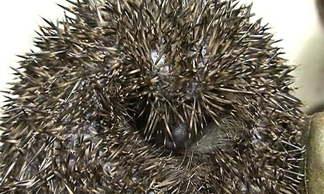 hebridean hedgehogs-a prickly issue
